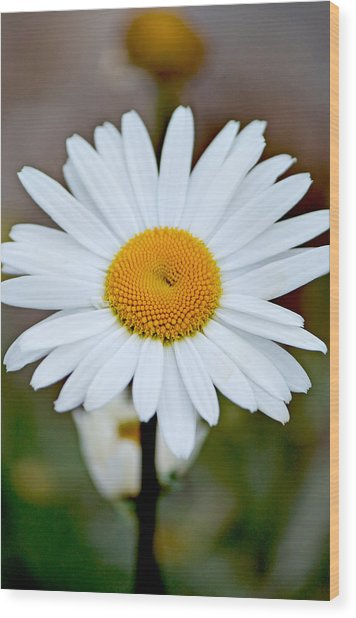 Daisy In The Morning Wood Print by Andrew Chianese