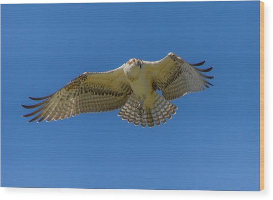 Dance Of Osprey Wood Print by Laura Bentley