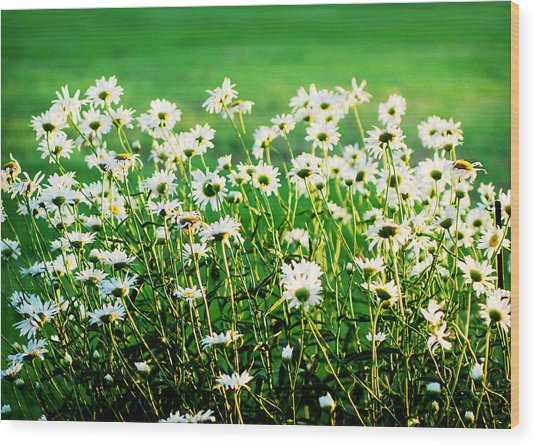 Dancing Daisies Wood Print
