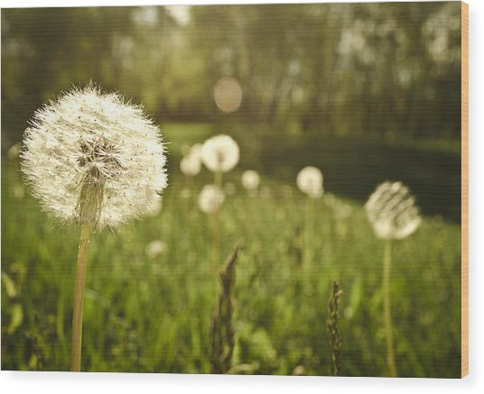 Dandelion Basking In The Sun Wood Print