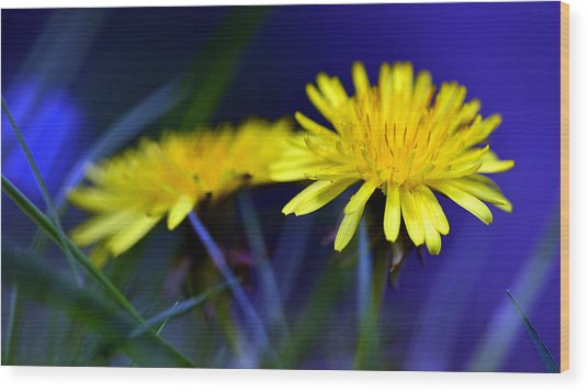 Dandelion Blues Wood Print