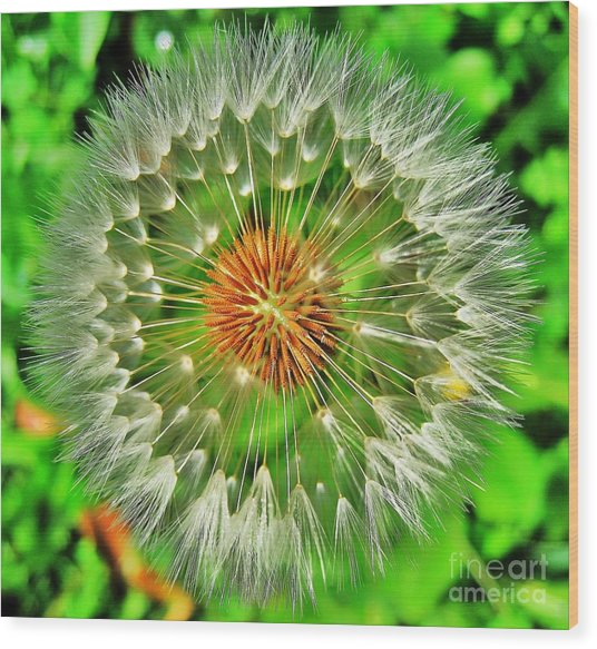Dandelion Circle Wood Print