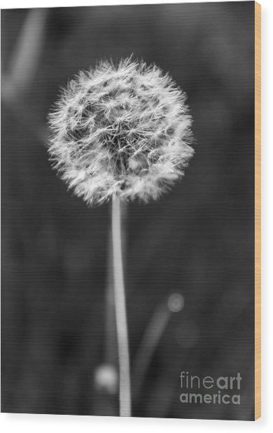 Dandelion In The Sun Wood Print