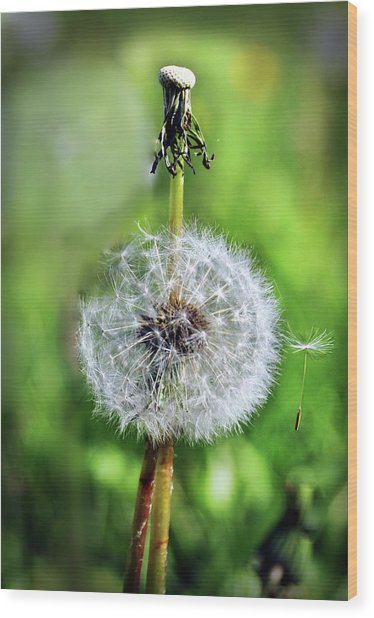 Dandelion Released Wood Print