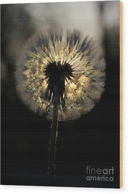Dandelion Sunrise - 1 Wood Print