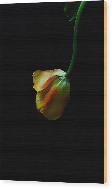 Dangling Tulip Wood Print