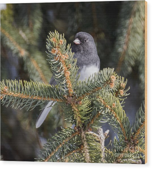 Dark-eyed Junco  Wood Print by Ricky L Jones