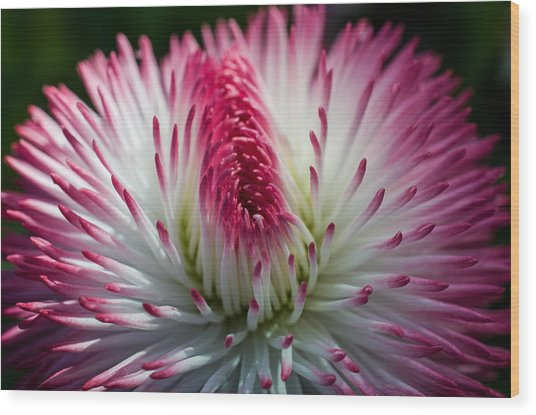 Dark Pink And White Spiky Petals Wood Print