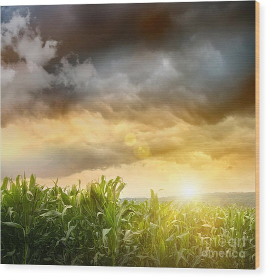 Dark Skies Looming Over Corn Fields  Wood Print
