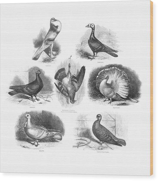 Darwin On Pigeon Evolution Wood Print