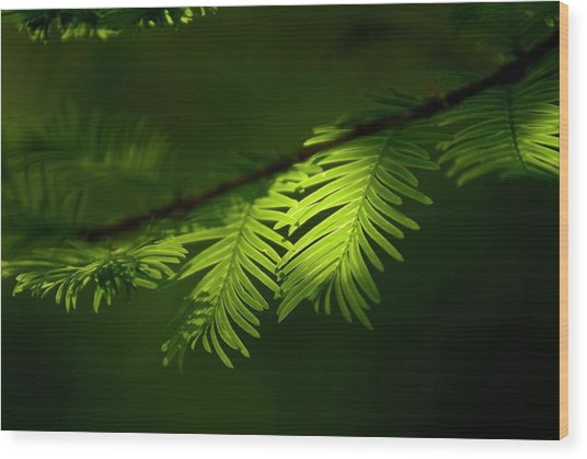 Dawn Redwood Foliage Wood Print