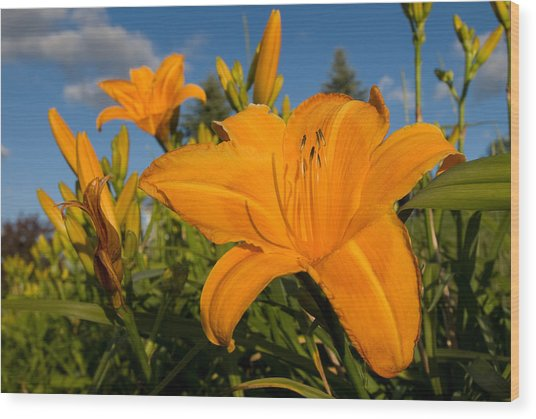 Day Lily Time Wood Print