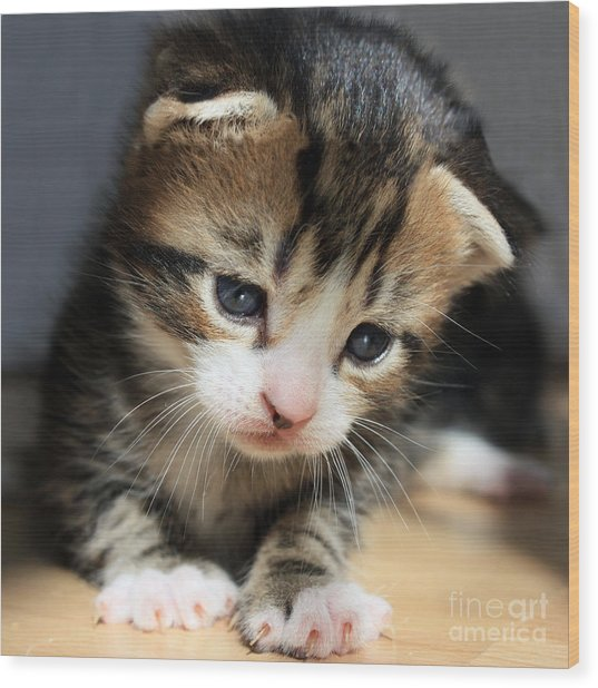Daydreamer Kitten Wood Print