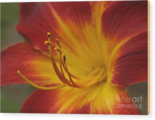 Daylily Close Up II Wood Print