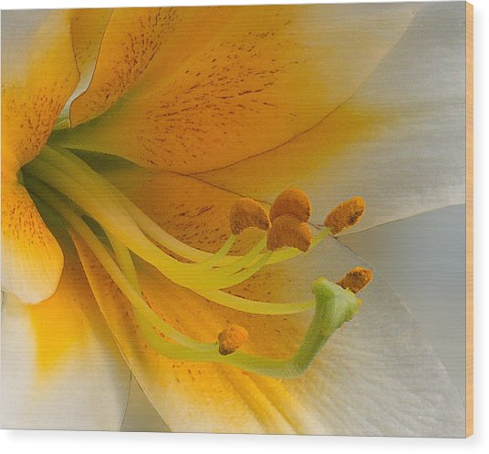 Gold Daylily Close-up Wood Print