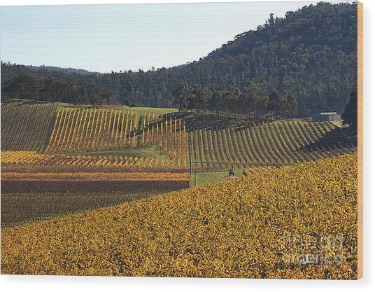 golden vines-Victoria-Australia Wood Print