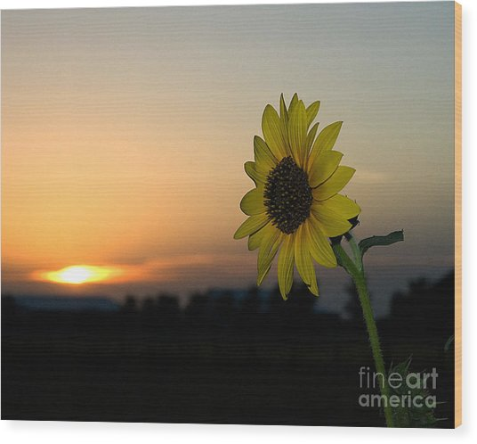 Wood Print featuring the photograph Sunflower And Sunset by Mae Wertz