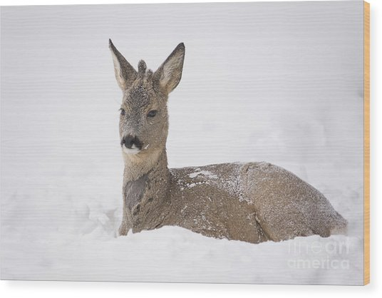 Deer Resting In Snow Wood Print