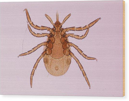 Deer Tick Nymph. Ixodes Dammini. Vector Of Lyme Disease. Head Contains Formidable Piercing Organ (hypostome). 10x Wood Print by Ed Reschke