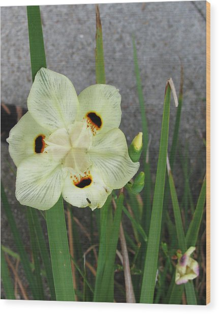 Delicate Iris Wood Print by Tom Hefko