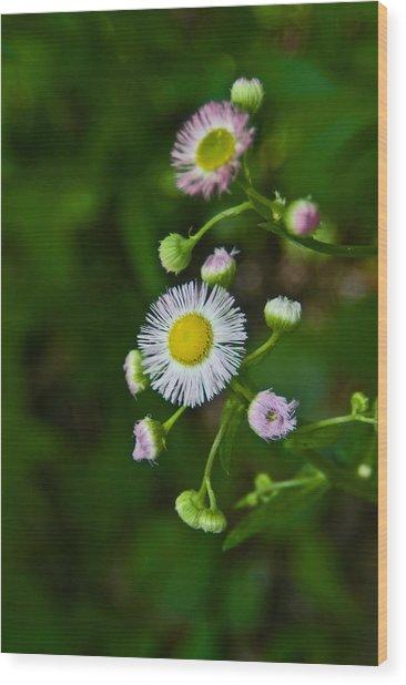 Delicate Pla 528 Wood Print