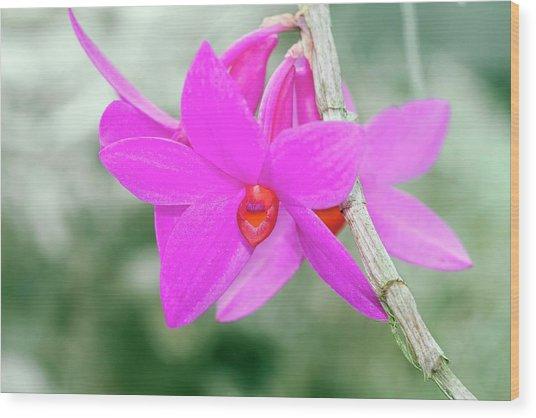 Dendrobium Glomeratum 'qingyu' Wood Print by Sam K Tran/science Photo Library