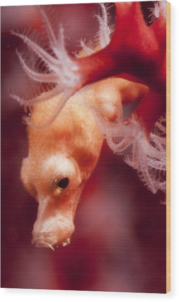 Denise's Pygmy Seahorse Wood Print