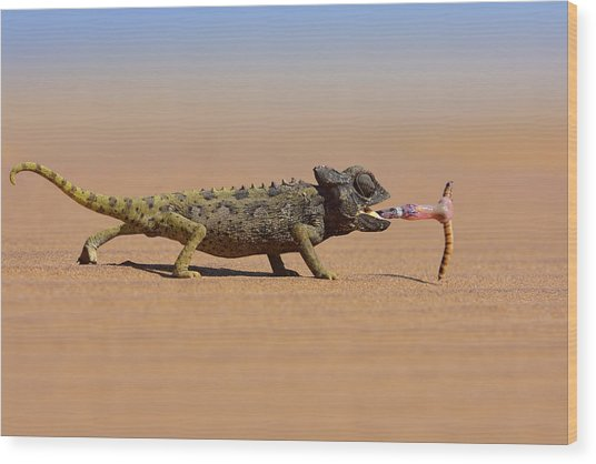 Desert Chameleon Catching A Worm Wood Print by Freder