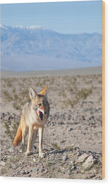 Desert Coyote Wood Print
