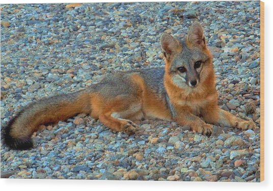Desert White Foot Fox Wood Print by Wendy Clem