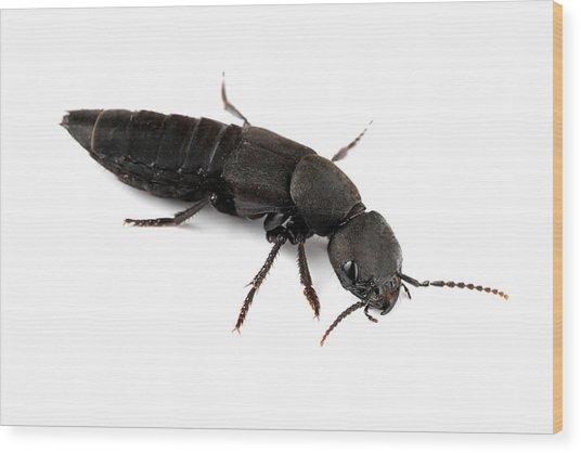 Devil's Coach Horse Beetle Wood Print by Alex Hyde