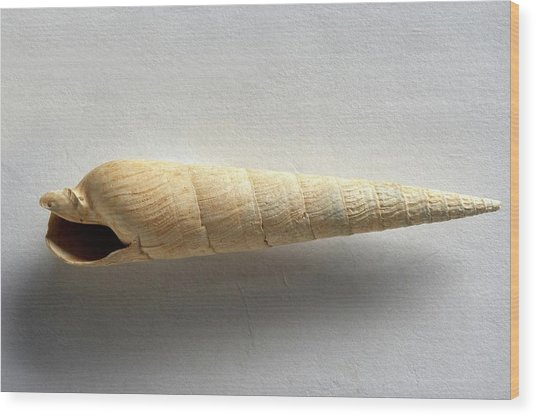 Devonian Terebra Fuscata Fossil Wood Print by Dorling Kindersley/uig