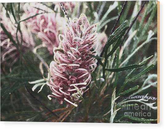 Dew Covered Grevillea Wood Print