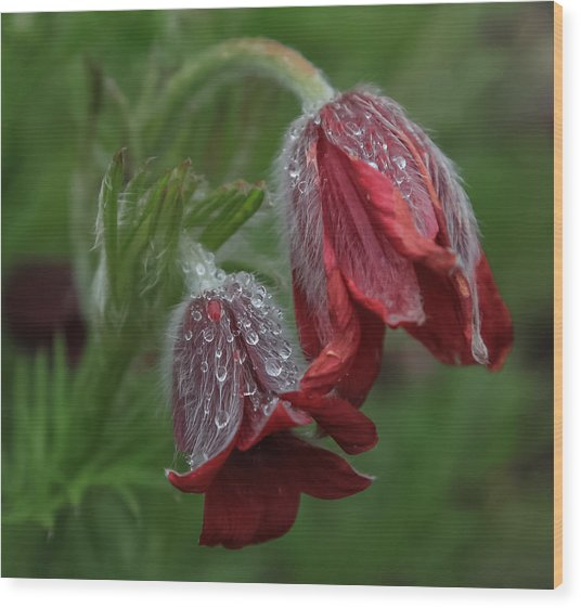 Dew Covered Pasque Flower Wood Print
