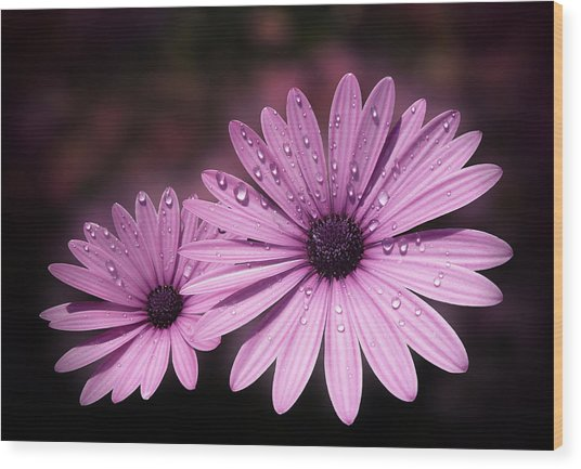 Dew Drops On Daisies Wood Print