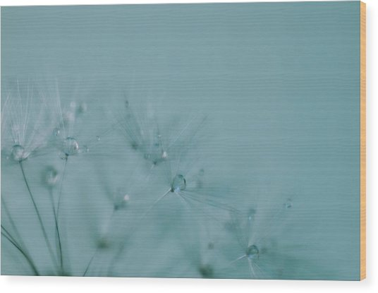 Dew Drops On Dandelion Seeds Wood Print