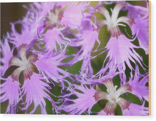 Dianthus 'rainbow Loveliness Mixed' Wood Print