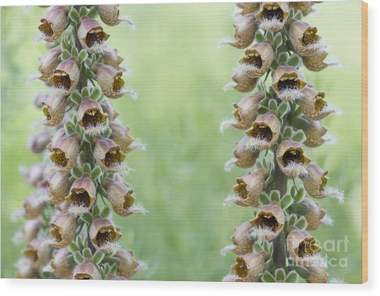 Digitalis Ferruginea Rusty Foxgloves Wood Print