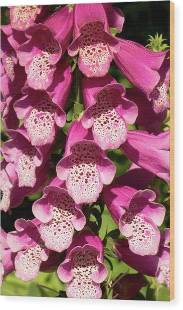 Digitalis Purpurea Excelsior Group Wood Print