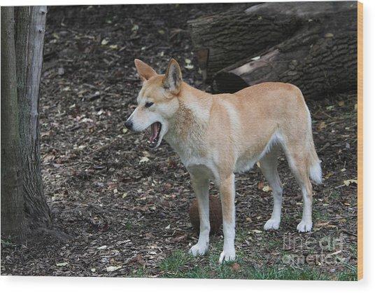 Dingo #2 Wood Print