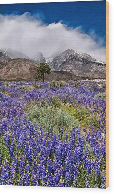 Division Creek Lupine Wood Print