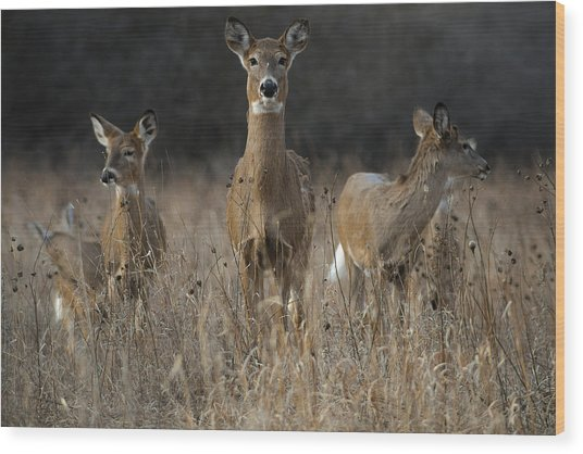 Doe And Yearlings Wood Print