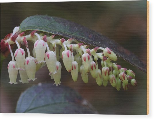Wood Print featuring the photograph Dog Hobble Flowers by Daniel Reed