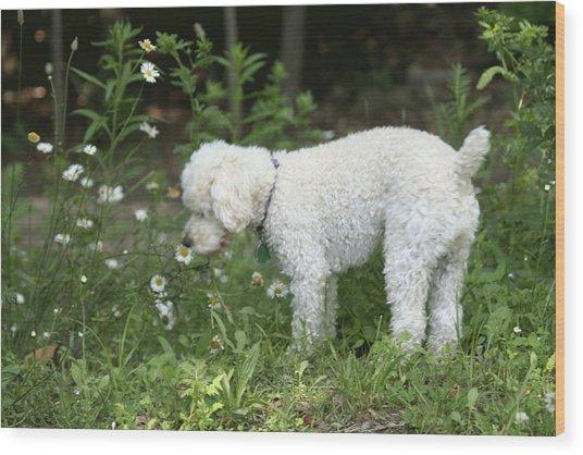 Dog Smelling Daisies Wood Print by Carolyn Reinhart