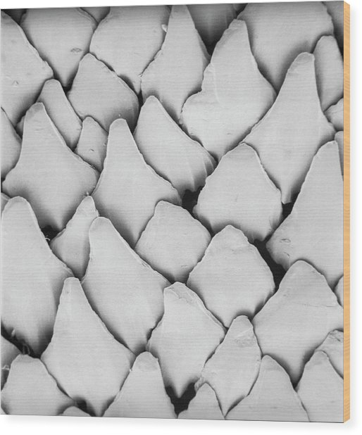 Dogfish Scales Wood Print by Natural History Museum, London