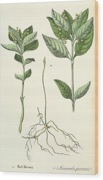 Dog's Mercury Wood Print by Sheila Terry/science Photo Library