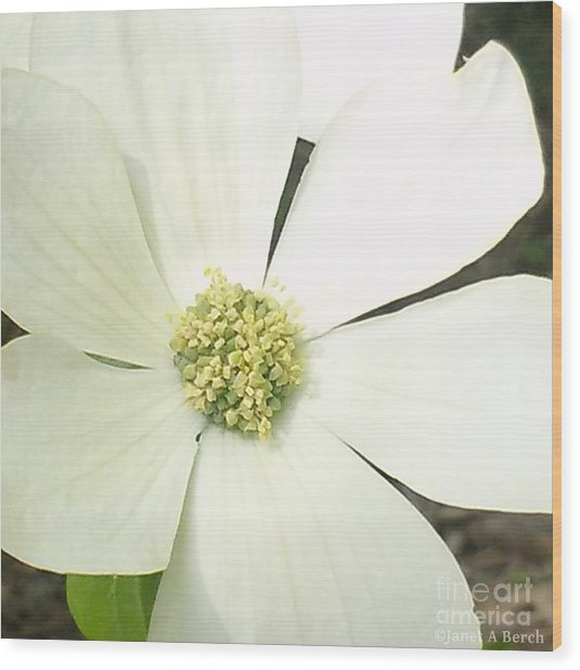 Dogwood 1 Wood Print by Janet Berch