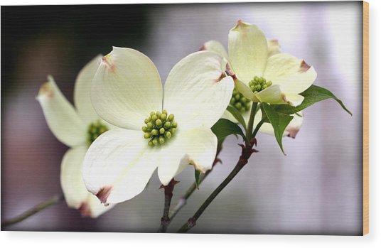 Dogwood Blooms Wood Print