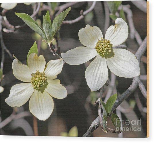 Dogwood Blossoms Wood Print by Kenny Bosak