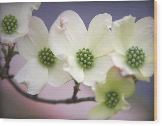 Dogwood Wood Print by CarolLMiller Photography